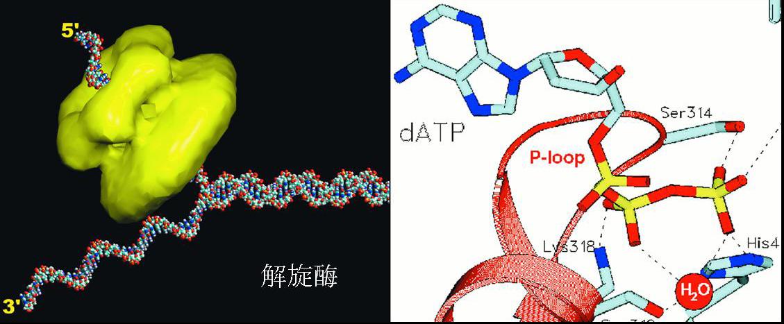 helicases.jpg